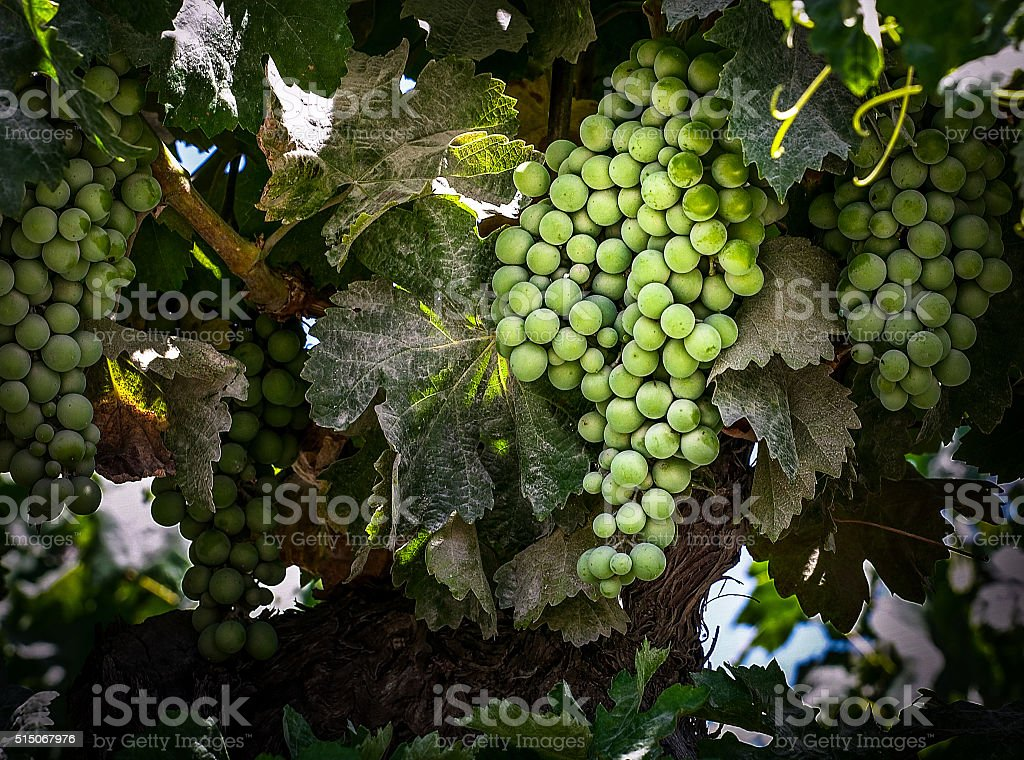 Fresh green grapes growing on the vine stock photo