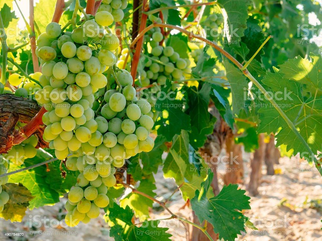 Verde uvas nas videiras. Sol de verão luzes foto royalty-free