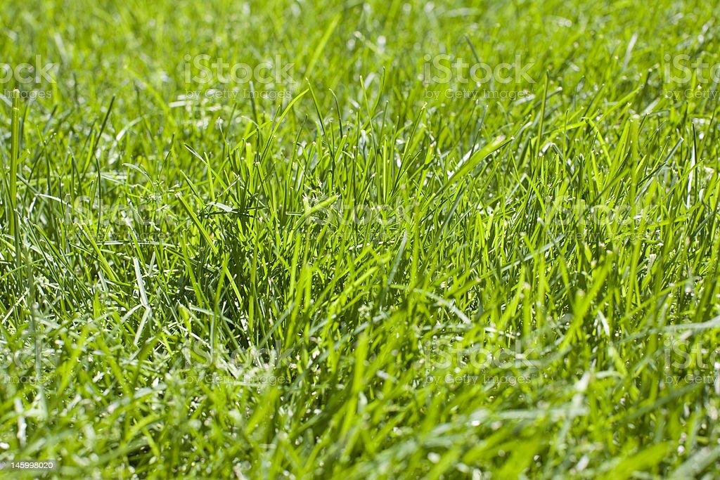 Fresh Green Grass Lawn royalty-free stock photo