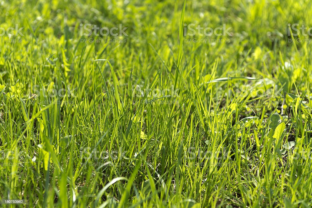 Fresh green grass on meadow royalty-free stock photo