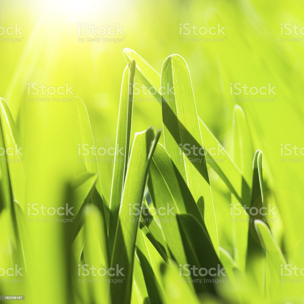 Fresh green grass royalty-free stock photo