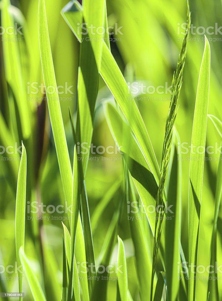 fresh green grass royalty-free stock photo