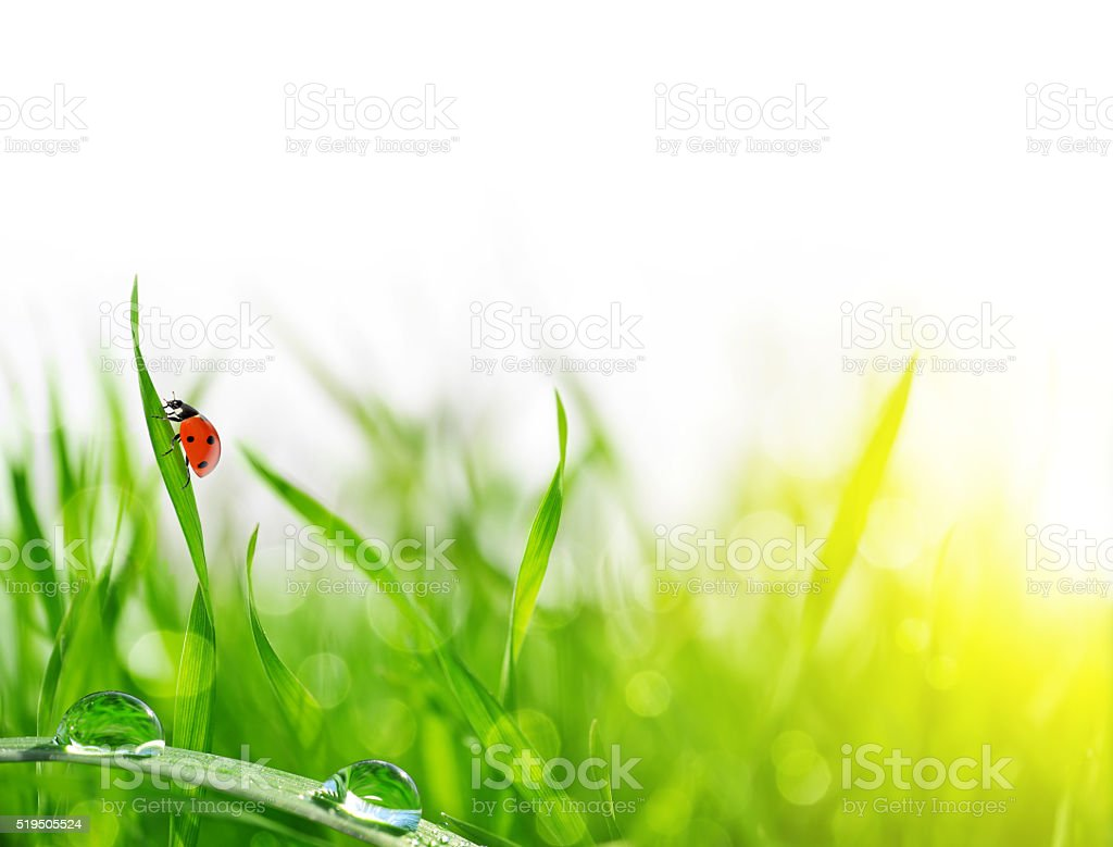Fresh green grass with dew drops and ladybug closeup. stock photo