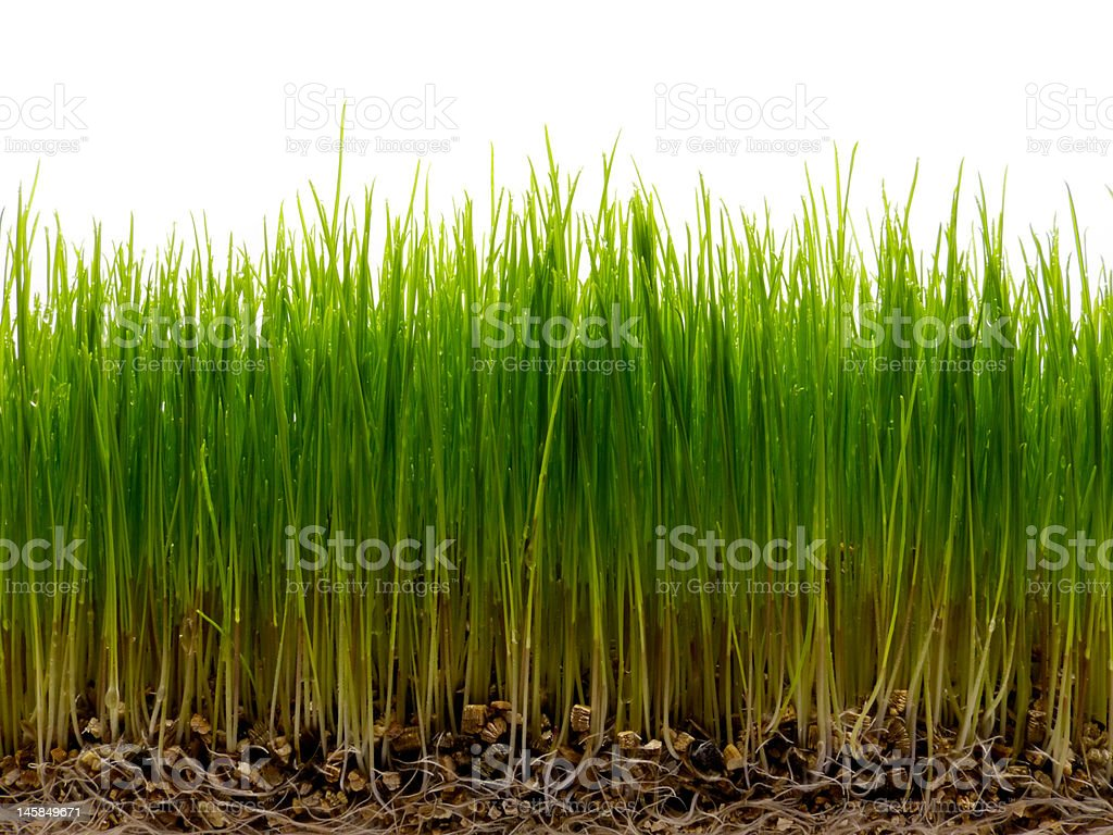 Fresh green grass with root and dew royalty-free stock photo