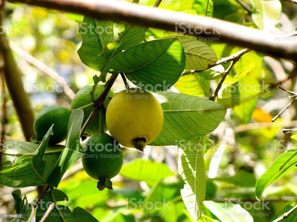 Fresh green Guava ( Psidium guajava) hanging on the tree. stock photo