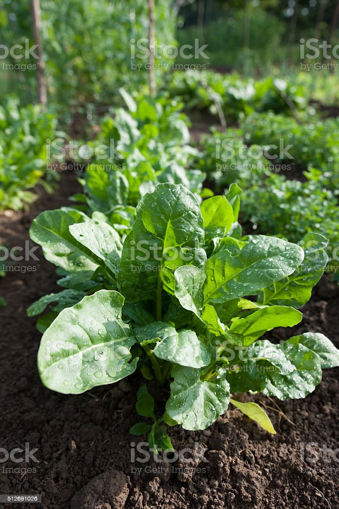 Fresh green healthy spinach growing on cultivated garden. stock photo