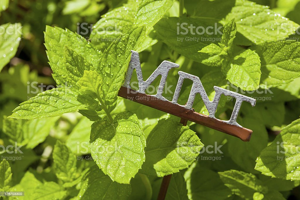 Fresh Green Herbal Mint Leaves royalty-free stock photo