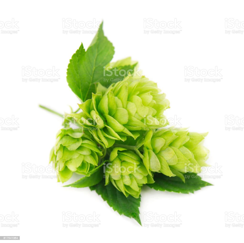 Fresh green hop branch, isolated on white background stock photo