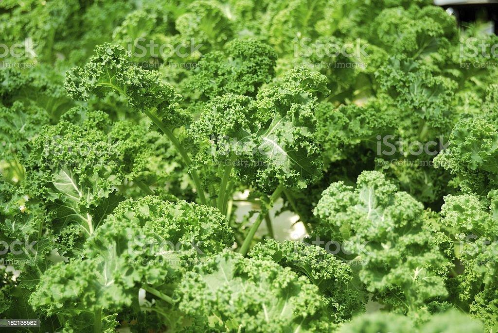 Fresh green kale stock photo