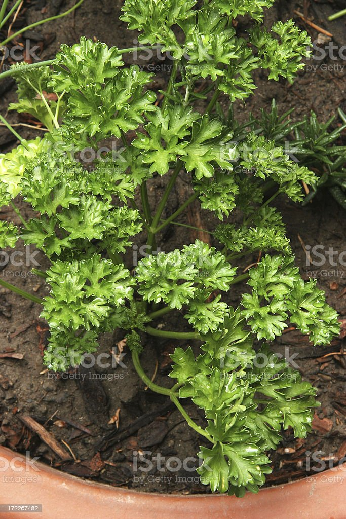 Fresh Green Kitchen Garden Parsley royalty-free stock photo