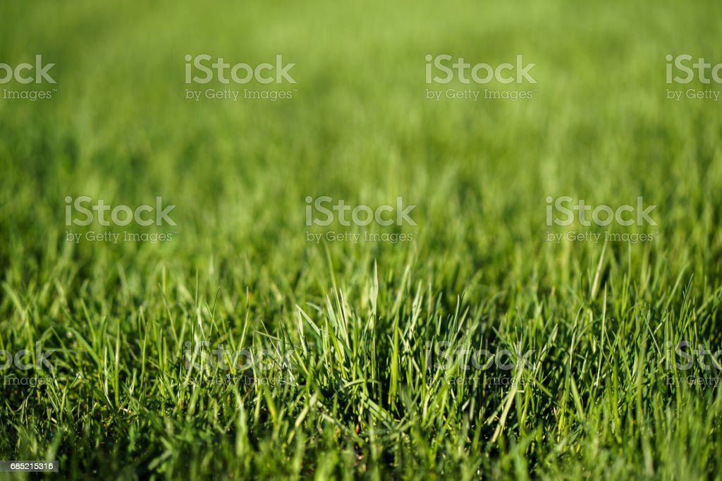 Fresh green lawn leaves of grass texture in park stock photo