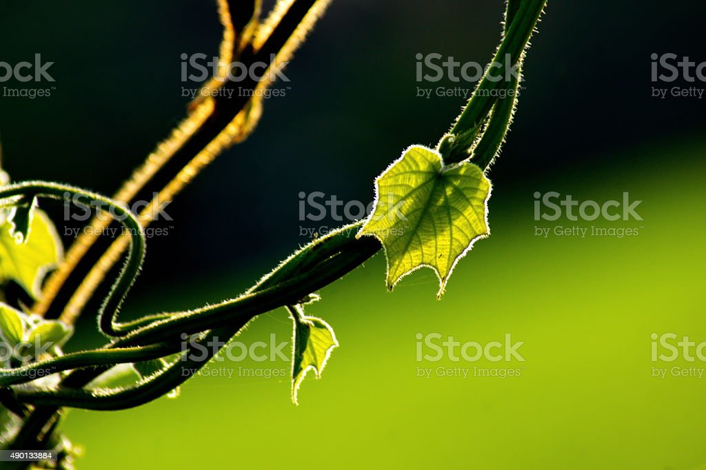 Fresh green leaf and vine on blur background stock photo