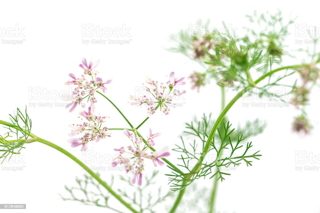 fresh green leaf cilantro coriander blossom close up stock photo