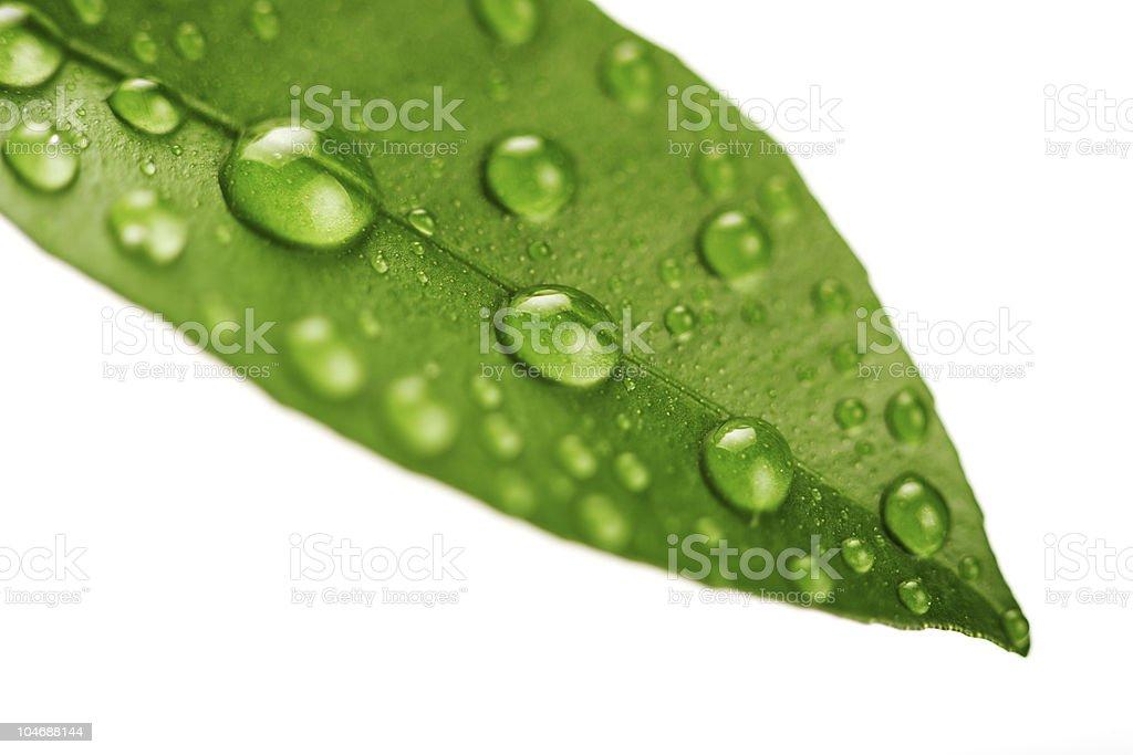 Fresh green leaf isolated on white background royalty-free stock photo