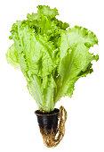 fresh green leaf lettuce grown in pot isolated