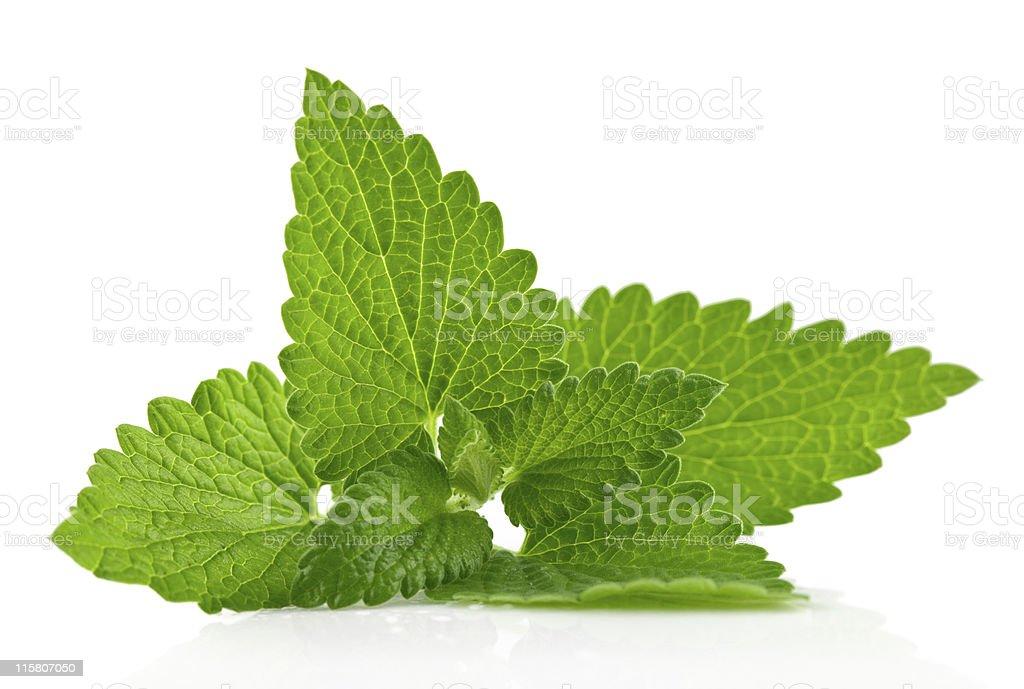 fresh green leaf of melissa stock photo