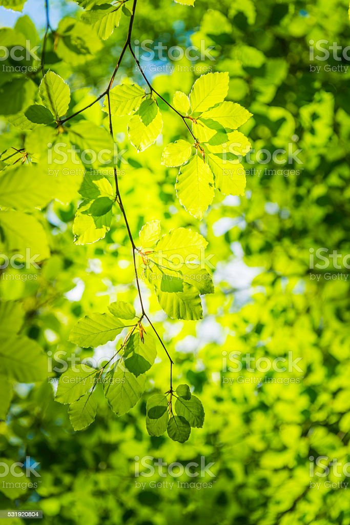 Fresh green leaf warm clear sunshine deep in natural forest stock photo