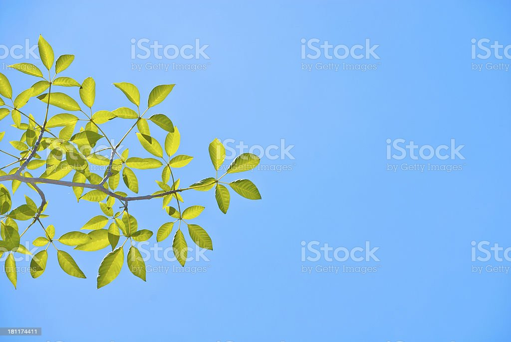 Fresh Green Leaves and blue sky royalty-free stock photo