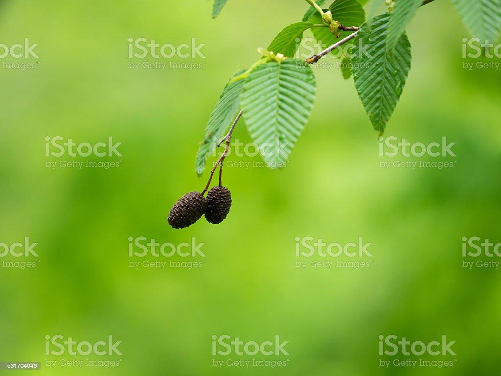 Fresh green leaves and fruit of Alnus firma stock photo
