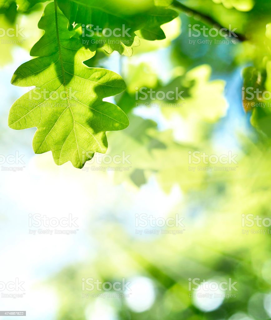 fresh green leaves and sun stock photo