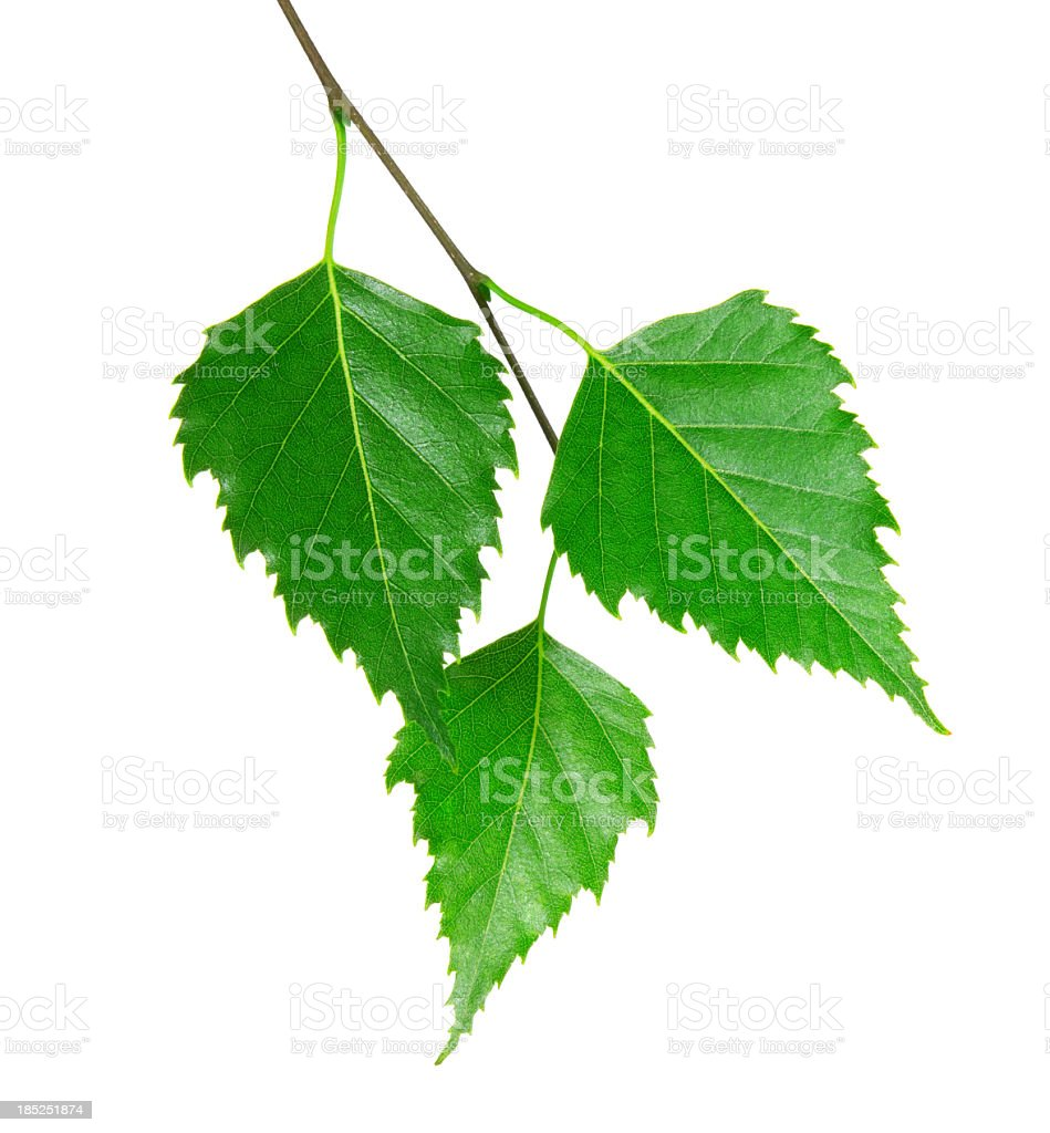 3 fresh green leaves from a branch stock photo