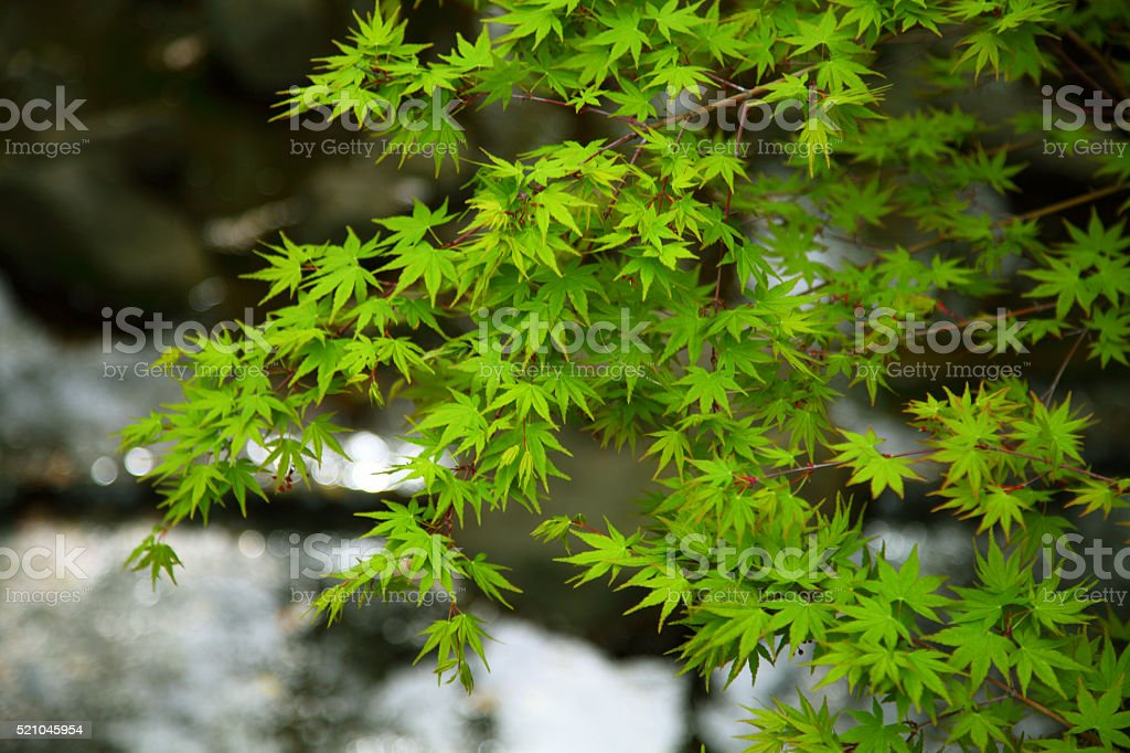 Fresh green leaves in Japan stock photo