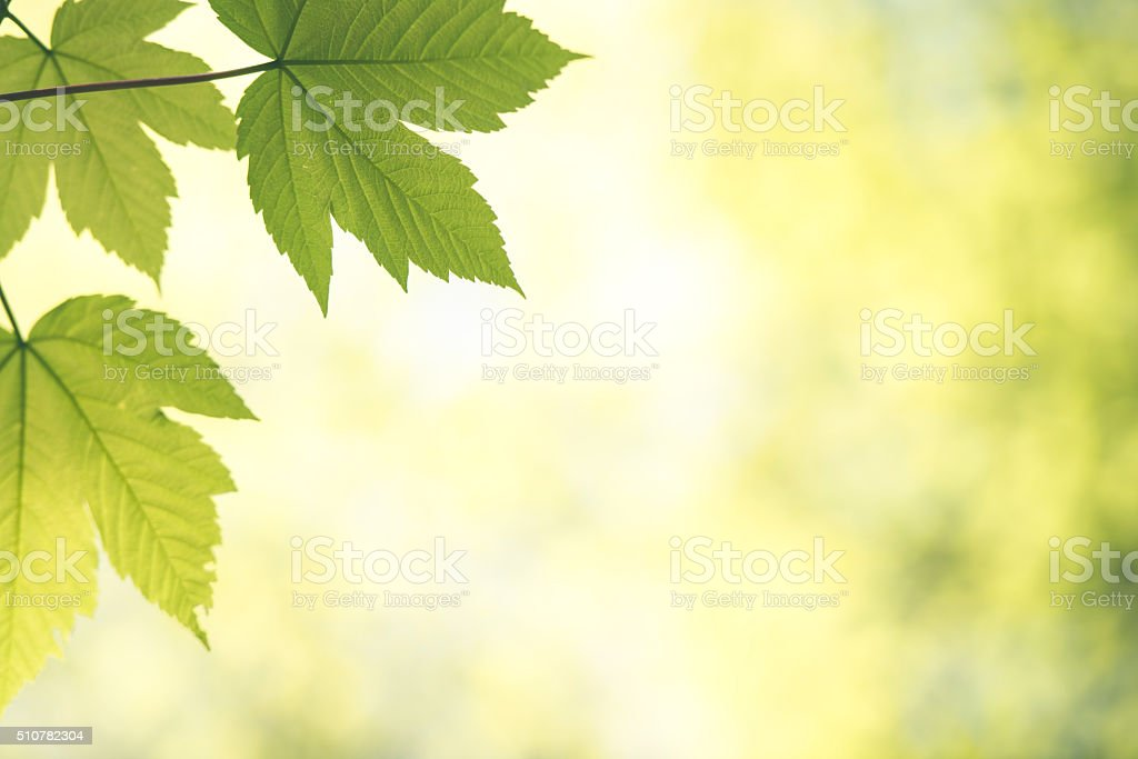Fresh green leaves in the morning stock photo