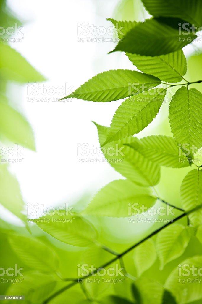 Fresh Green Leaves royalty-free stock photo