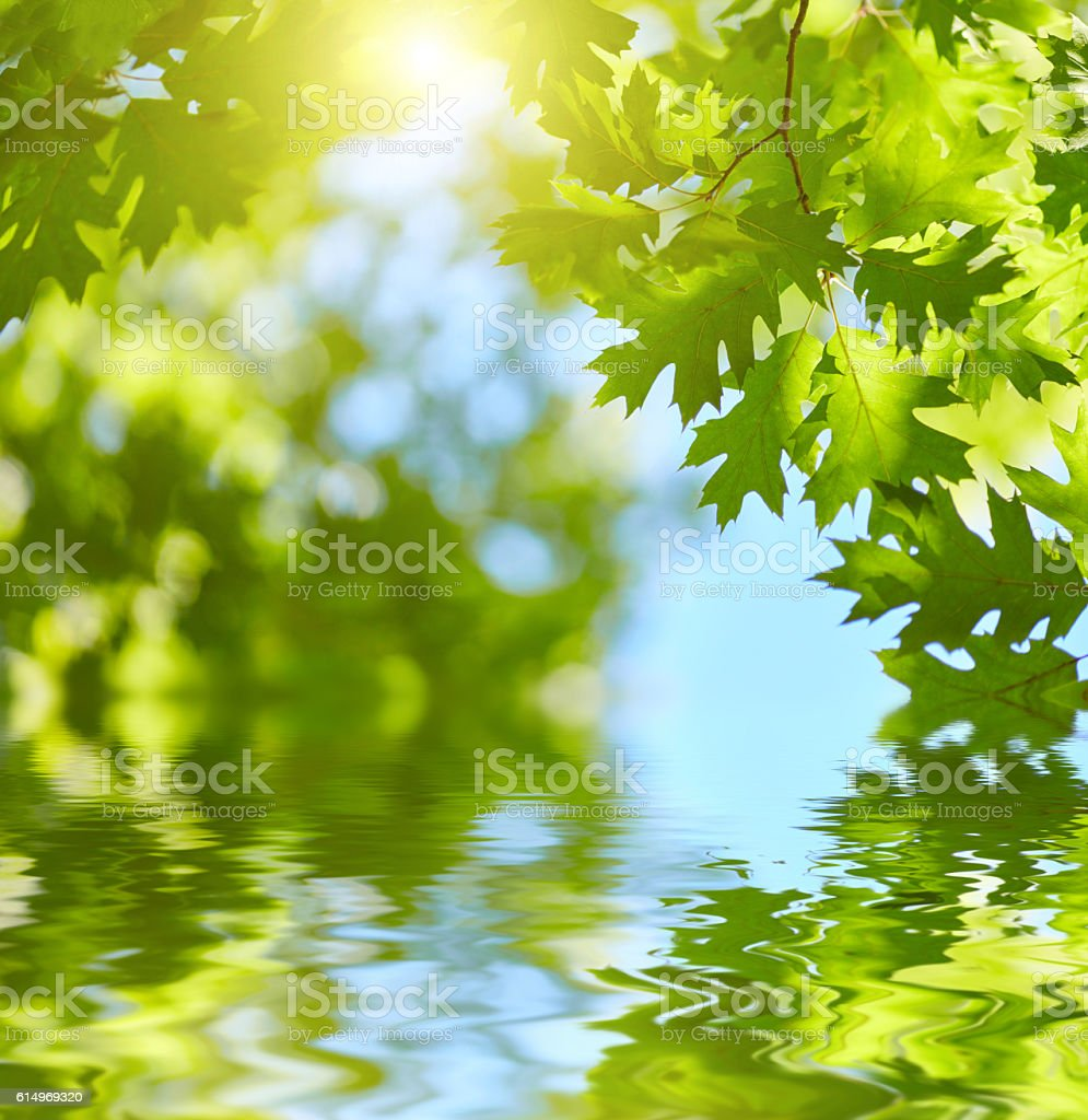 Fresh green leaves reflecting in water background. stock photo
