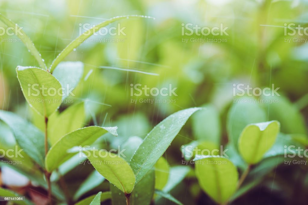 Fresh green leaves with raining on morning sun. stock photo
