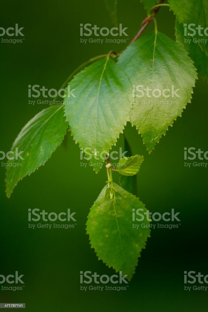 Fresh Green Leaves - XXXL royalty-free stock photo