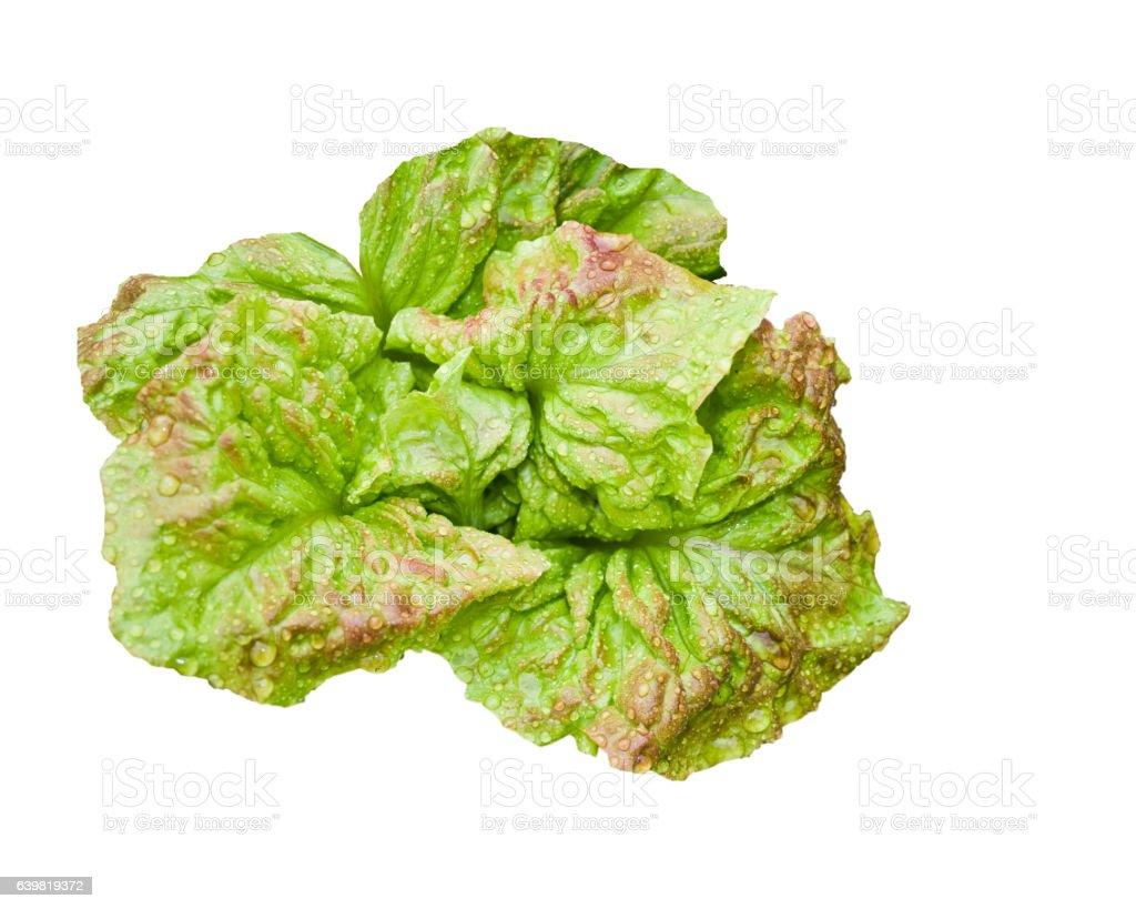 fresh green lettuce stock photo