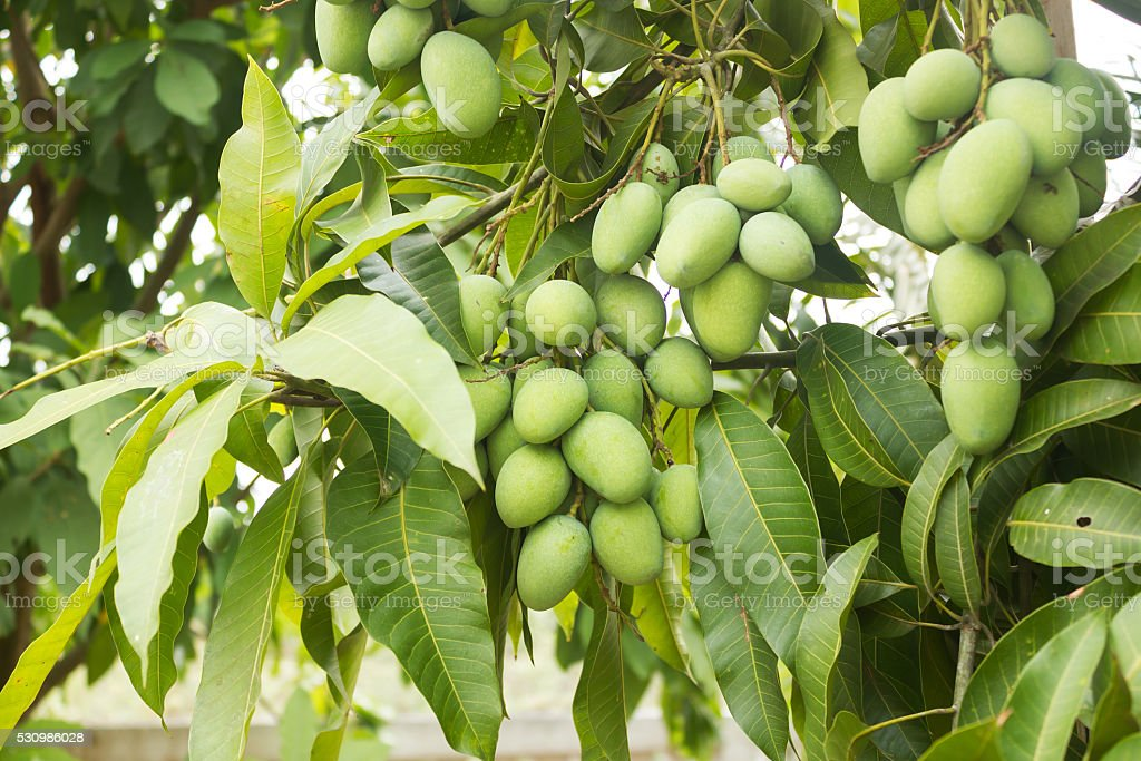 Fresh green mango. stock photo