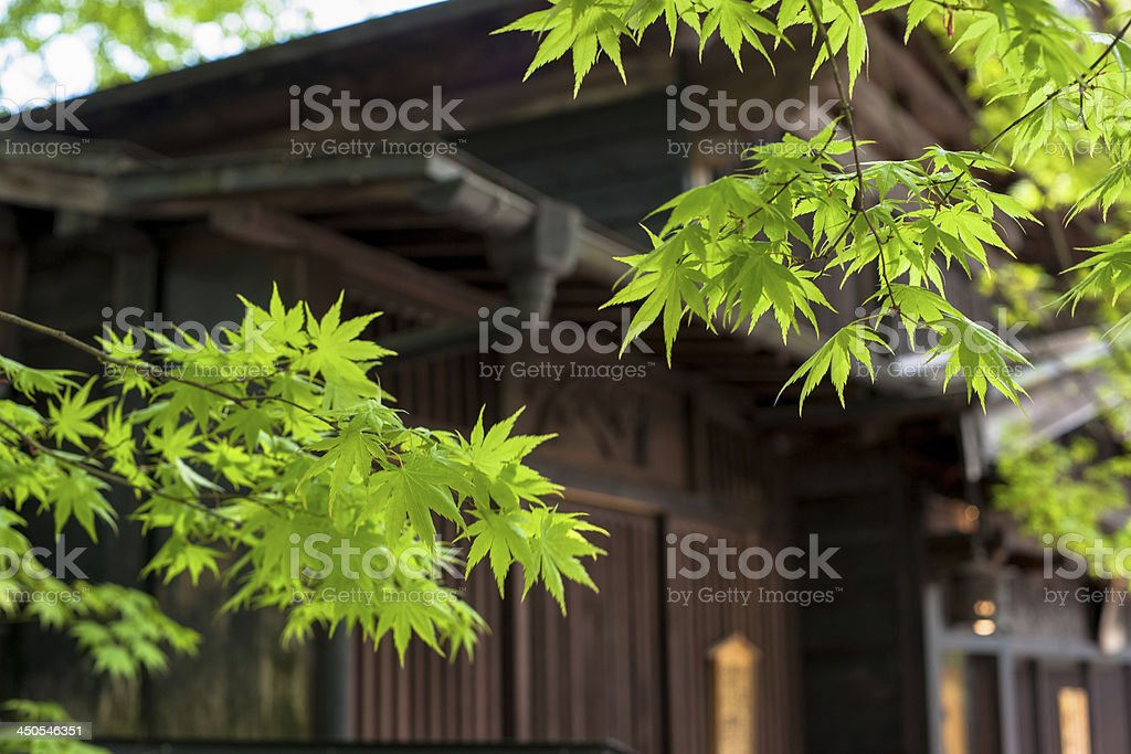 Fresh green maple royalty-free stock photo