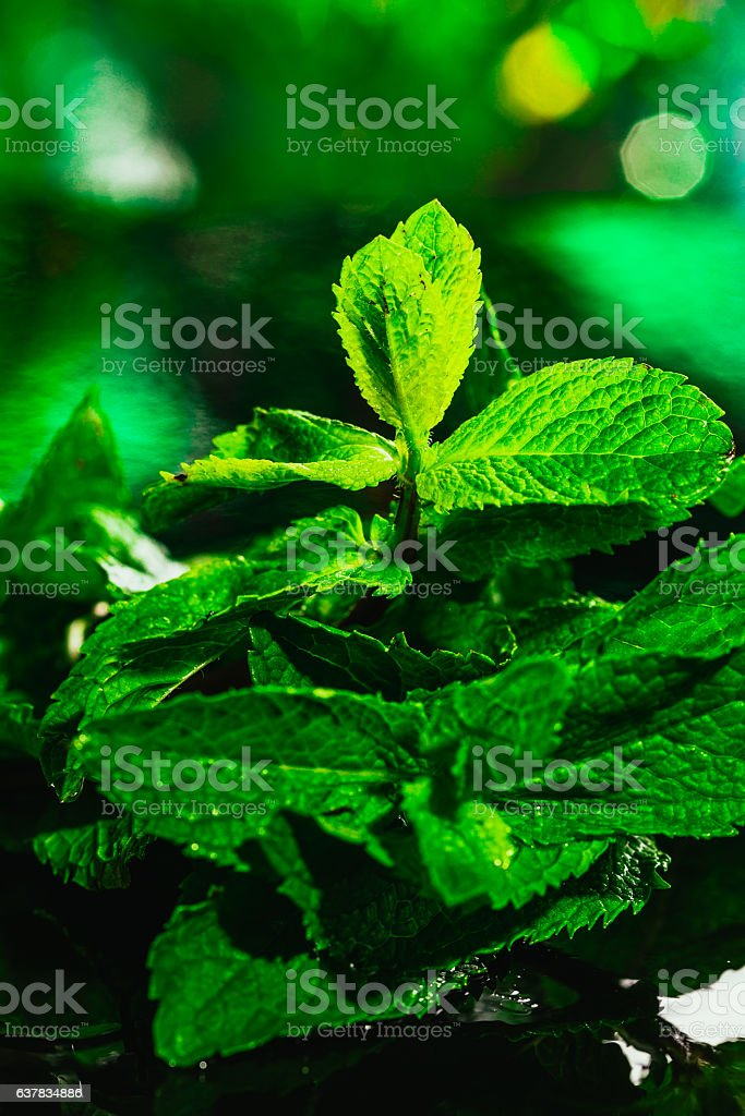 Fresh green mint close-up on a dark background stock photo
