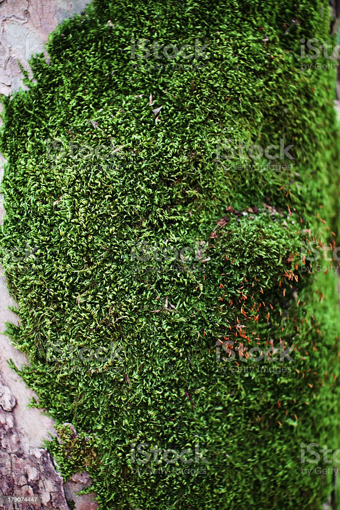 Fresh Green moss on tree royalty-free stock photo