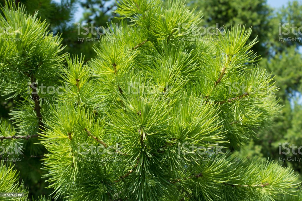 Fresh green needles of larch in spring stock photo