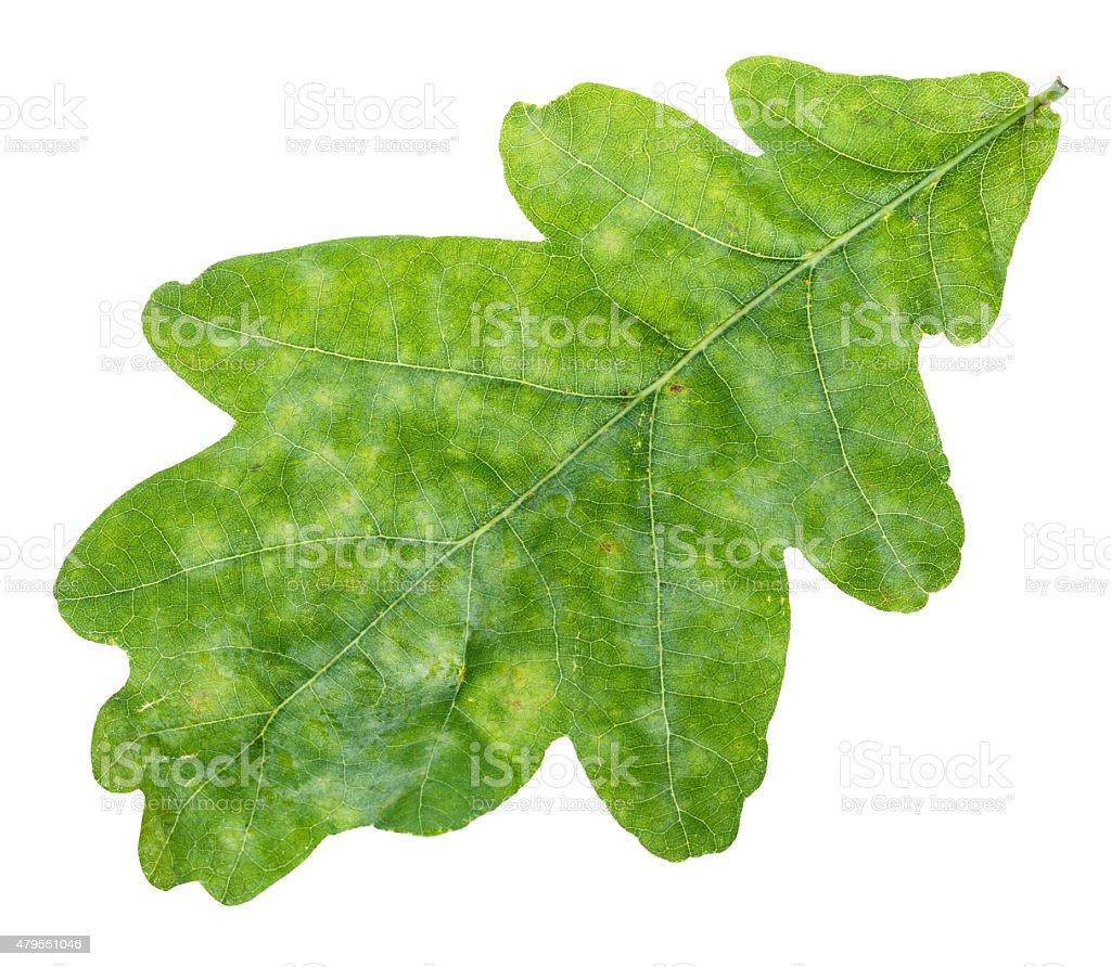 fresh green oak leaf close up isolated on white stock photo