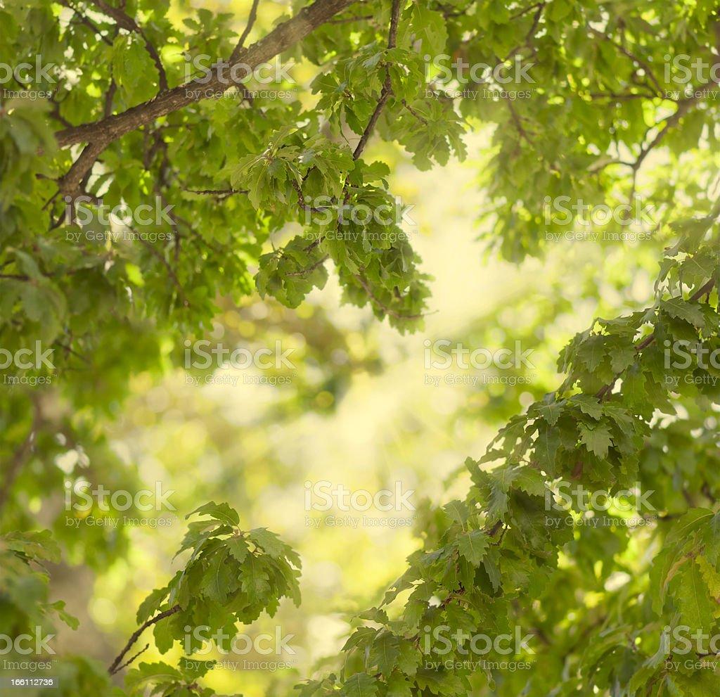 Fresh green oak leaves royalty-free stock photo