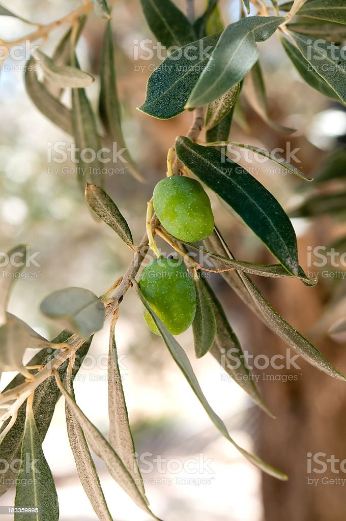 Fresh green olives on tree royalty-free stock photo