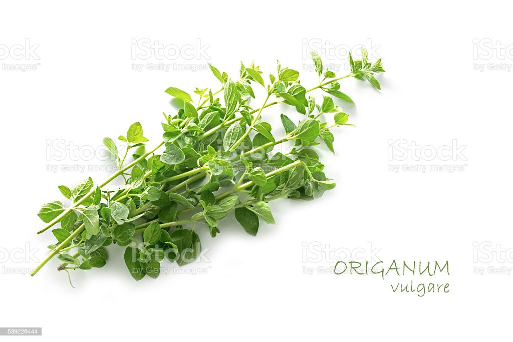 fresh green oregano, Origanum vulgare, isolated on white stock photo