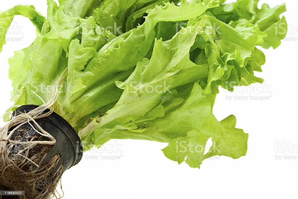 fresh green plant lettuce royalty-free stock photo