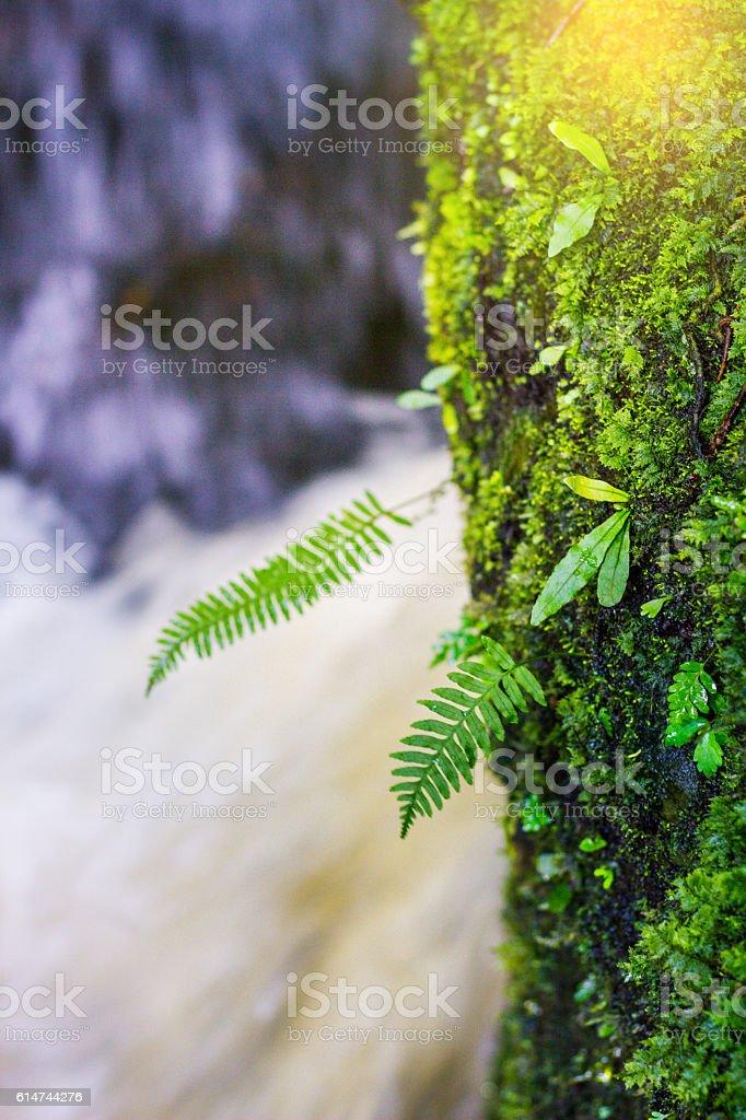 fresh green plant on rock in middle Mun Dang Waterfall rain season in...