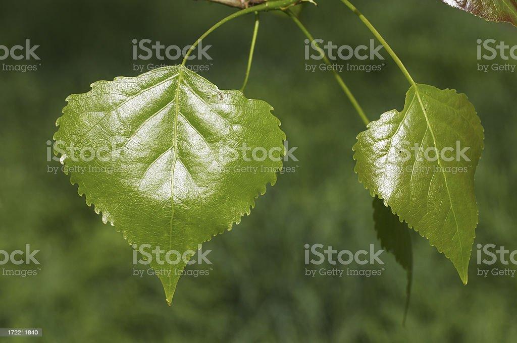 Fresh green poplar leaves royalty-free stock photo