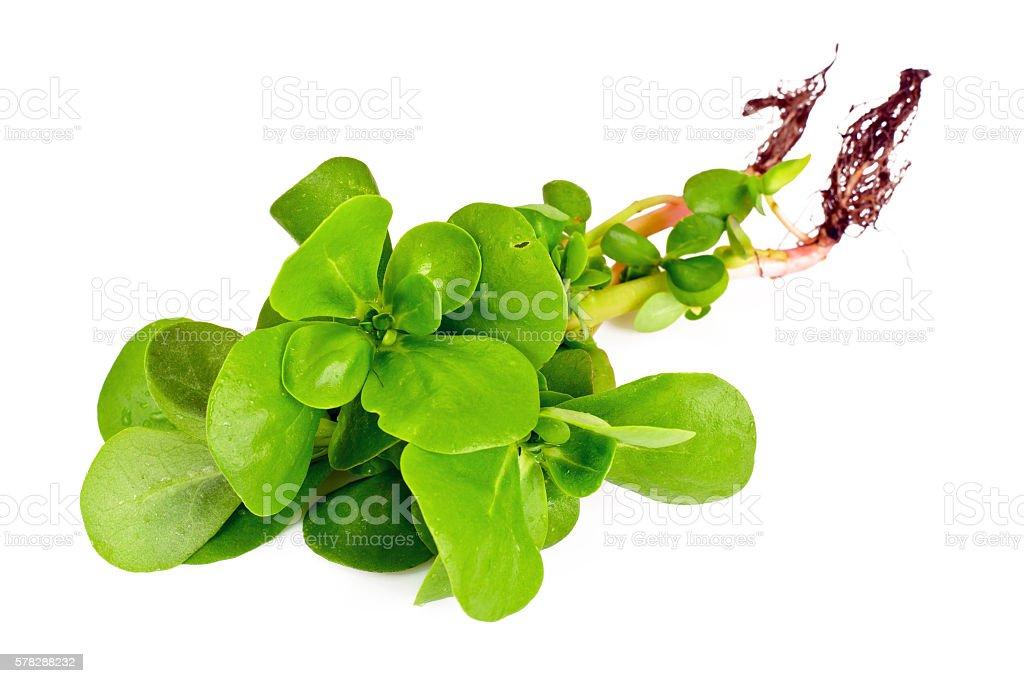 Fresh Green Purslane stock photo
