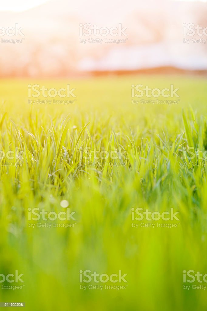 Fresh green spring grass with sun and soft focus stock photo