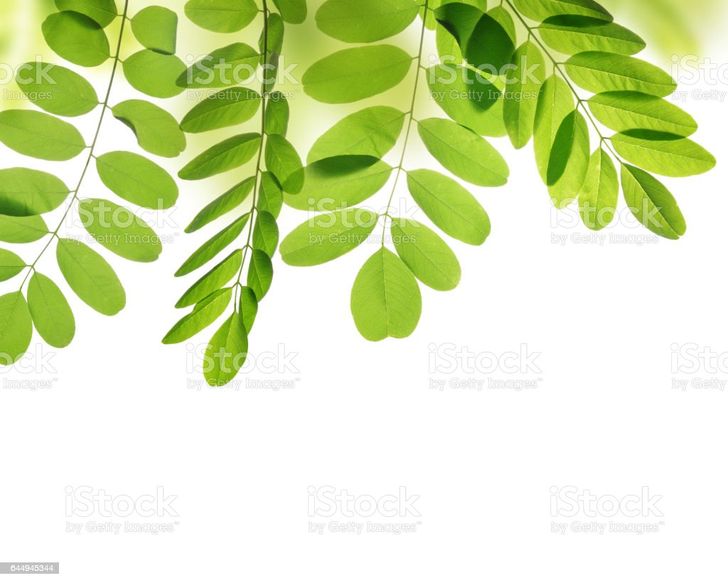 Fresh green spring leaves of Acacia or Black Locust stock photo