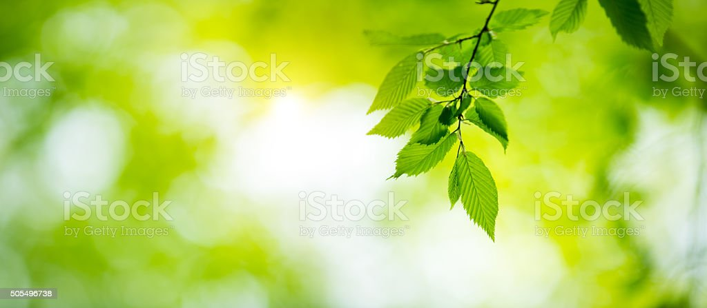 Fresh Green Spring Leaves stock photo
