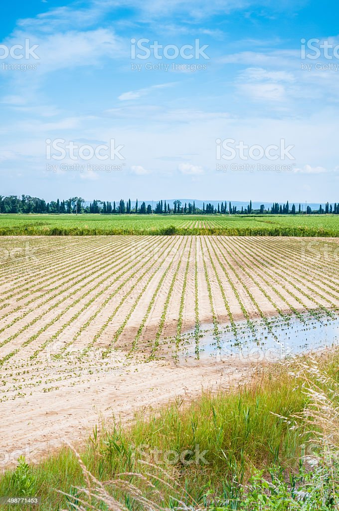 Fresh Green Sprouts field - Stock Image royalty-free stock photo