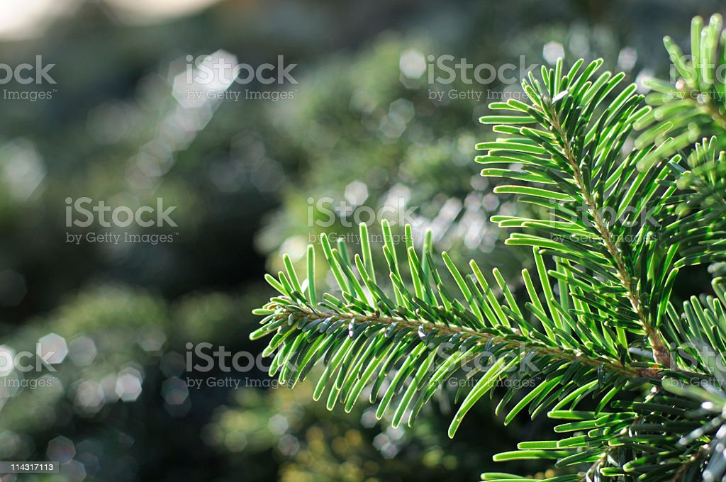 Fresh Green Spruce Background royalty-free stock photo